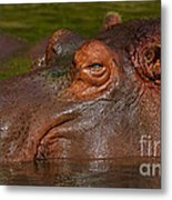Hippopotamus With Its Head Just Above Water Metal Print