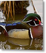His Majesty Wood Duck Metal Print