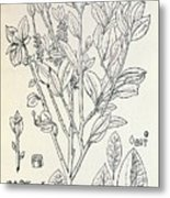 Historical Art Of Coca Plant Metal Print