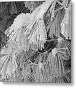 Hoar Frost On Pine Branches Metal Print