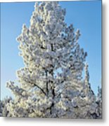 Hoar Frost Ponderos Pine Tree, Sundance Metal Print
