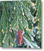 Hoarfrost On Pine Bough Yosemite National Park Metal Print