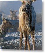 Hoarfrosted Elk Calf Metal Print