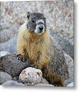 Hoary Marmot Metal Print