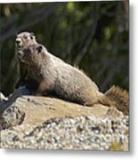 Hoary Marmots Metal Print