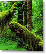 Hoh Rainforest Metal Print