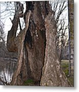Hollow Tree At Mather Mill Metal Print