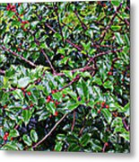 Holly Bush - Metal Print