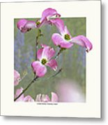 Flowering Dogwood - 'cherokee Chief' Metal Print by Saxon Holt