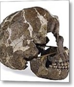 Homo Neanderthalensis Cranium (tabun 1) Metal Print