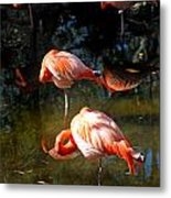 Homosassa Springs Flamingos 5 Metal Print