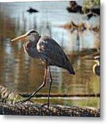 Homosassa Springs Waterfowl 8 Metal Print