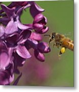 Honey Bee And Lilac Metal Print
