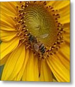 Honey Bee Close Up On Edge Of Sunfower...  # Metal Print