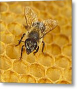 Honey Bee Colony On Honeycomb Metal Print