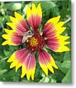 Honey Bee On A Indian Blanket Metal Print