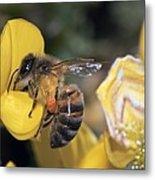 Honey Bee Feeding Metal Print