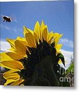 Honey Bee In Flight. Metal Print