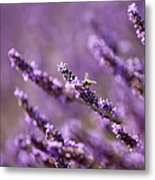 Honey Bee In Lavender Metal Print
