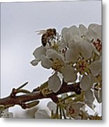 Honey Bee On Almond Blossom   #9636 Metal Print