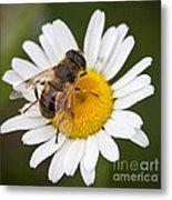 Honey Bee On Daisy Metal Print