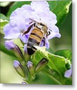Honey Bee On Lavender Flower Metal Print