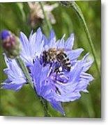 Honeybee In Bachelor's Button Metal Print