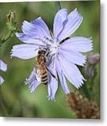 Honeybee On Chicory Metal Print