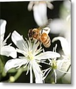 Honeybee On Clematis Metal Print