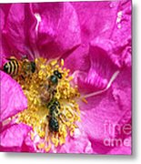 Honeybees On Pink Rose Metal Print