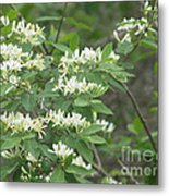 Honeysuckle Blossoms Metal Print