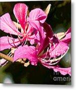 Hong Kong Orchid Tree Flower Blooms Metal Print