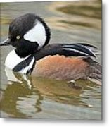Hooded Merganser Drake Metal Print