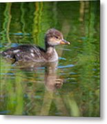 Hooded Merganser Duckling Metal Print