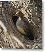 Hooded Merganser Getting Ready To Fly Metal Print