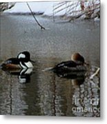 Hooded Merganser Mates Metal Print
