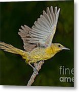 Hooded Oriole Hen At Take Metal Print