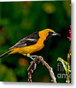 Hooded Oriole Male Metal Print