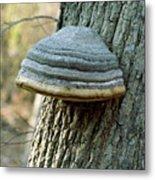Hoof Fungus (fomes Fomentarius) Metal Print