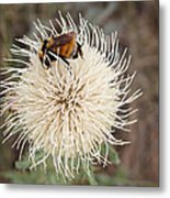Hooker's Thistle With Bumblebee Metal Print