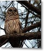 Hootie The Barred Owl A Metal Print