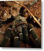 Hornback Baboon Spider Metal Print