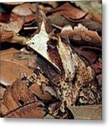 Horned Frog Camouflaged In Leaf Litter Metal Print