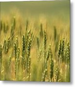 Horse Heaven Wheat Metal Print