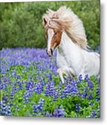 Horse Running By Lupines. Purebred Metal Print