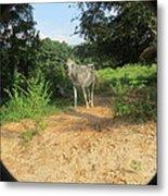 Horse Walks Toward Camera Metal Print
