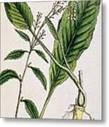 Horseradish Metal Print by Elizabeth Blackwell