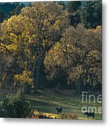 Horses In A Backlit Field With Fall Colored Trees Sedo Metal Print