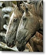 Horses Looking Through The Fence Metal Print