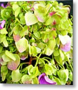 Hortensia With Touch Of Pink Metal Print